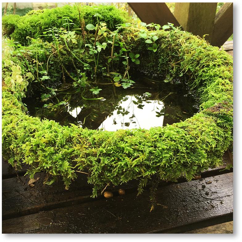 苔にびっしりと覆われた睡蓮鉢