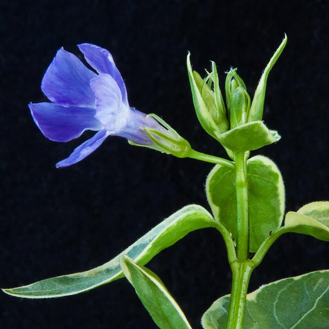 ツルニチソウの花