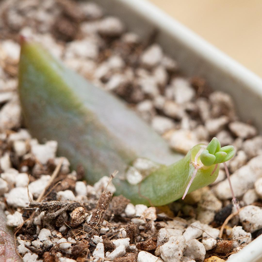 多肉植物の葉から出てきた芽