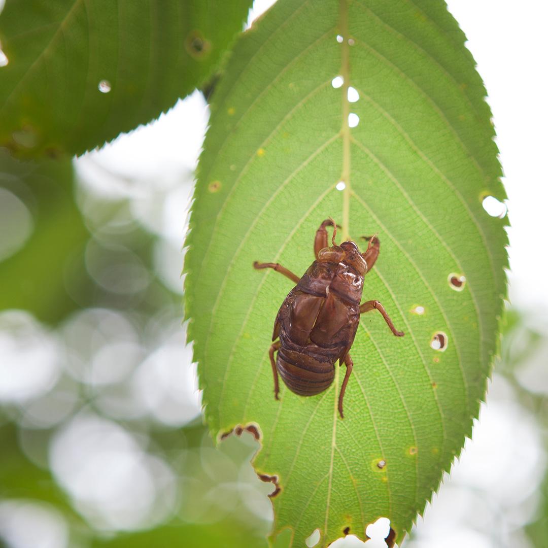 葉に付いた蟬の脱け殻