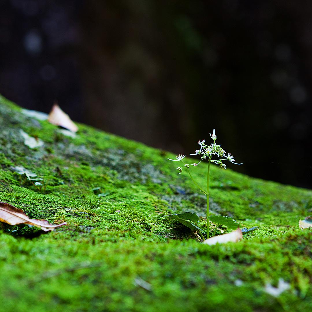岩苔から伸びる小さな野草