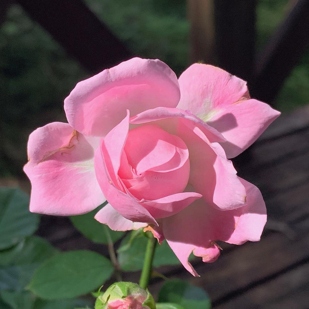 薔薇の開花