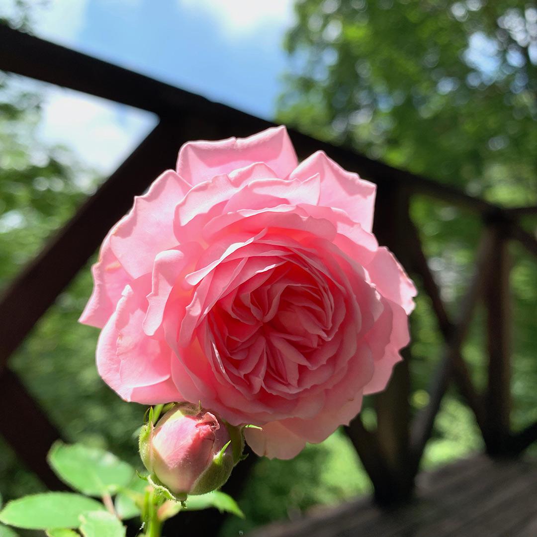 開花したバラ